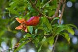 Pomegranate Bloom