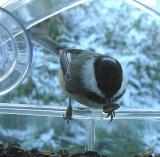 Chickadee with white crescent mark