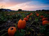 Pumpkin Field Revisited