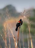 Redwing on High Grass