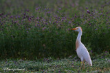 Airone guardabuoi , Cattle egret