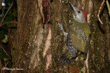 Giovane picchio verde ,  Green woodpecker young