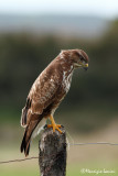 Poiana , Common buzzard
