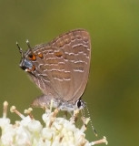 Harvester, Coppers, Hairstreaks & Elfins