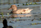 Dilute Plumaged Gadwall