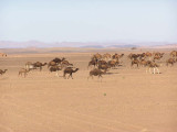 Camels Travel in Herds
