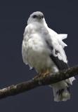 8288 Gray Hawk