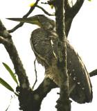 8745 Tiger Heron in Herradura