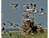 0839 Breton Island Residents