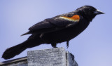 5849 Red Winged Blackbird