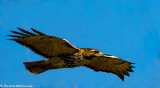 0079 Red Tailed Hawk LSU
