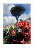 Anacapri Tree