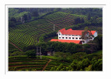 Yearning Tea Plantation
