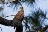 RESIDENT MALE EAGLE