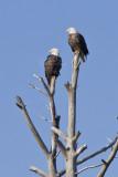 CHINCOTEAGUE RESIDENT EAGLE PAIR