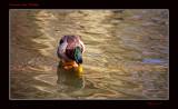 Canard des Hautois
