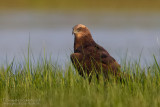 Marsh Harrier (Circus aeruginosus)