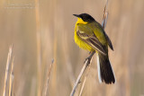 Black-headed Wagtail (Motacilla flava ssp feldegg)