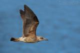 Yellow-legged Gull (Larus michahellis atlantis)