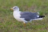 Azores Yellow-legged Gull (Larus michahellis atlantis)