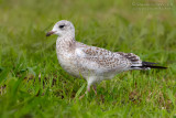 Ring-billed Gull (Gavina americana)