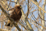 Booted Eagle (Aquila pennata)