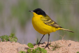 Black-headed Wagtail (Motacilla flafa feldegg)