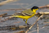 Black-headed Wagtail (Motacilla flava feldegg)