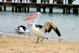 Pelican dance!