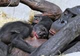 Bonobo Baby.jpg