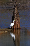 Great Egret and Cypress.jpg