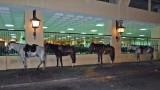 NOPD Horses Taking a Break