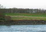 Sheep Grazing by the Rhine River