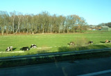Orderly Feeding of Cows on the Road to Aachen, Germany
