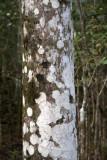 Bird Survey Site, Zapata Nat. Park, algea on Royal Palm