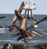 Brown Pelicans, One with band.
