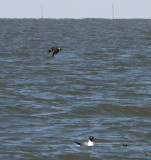 Pomarine Jaeger making a quick fly by.