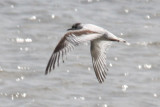Little Gull over the Calcasieu River in Cameron