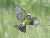 Tropical Kingbirds, Cameron Parish, 8/14/11