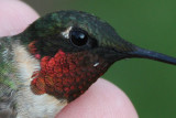 Ruby-throated Hummingbird Gorgets, adult male, 8/27/11