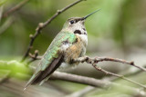 Broad-tailed Hummingbird, Lafayette, March 2009