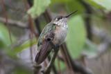 Calliope Hummingbird, Lafayette, LA., 11/9/11