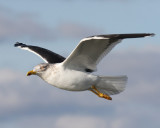 Lesser Black-backed Gull, Cameron Parish, 2/19/12