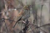Henslows Sparrow #1, Laf CBC, 12/30/11
