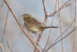 Henslows Sparrow #2, Laf CBC, 12/30/11