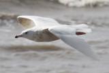Glaucous Gull, Holy Beach, 3/17/12
