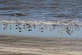 Mixed Group Shorebirds