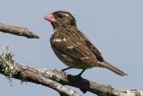 Rose-breasted Grosbeak, Cameron Parish, 4/21/12
