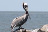 Brown Pelican, Cameron, 4/22/12