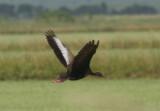 Black.bellied Whistling Duck 02.Patton.jpg